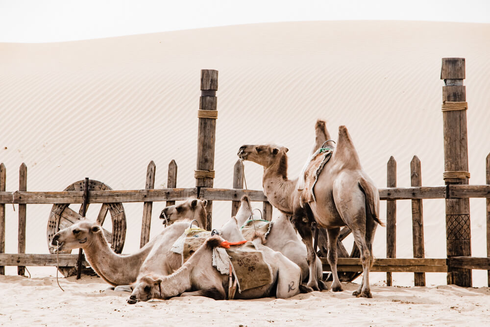 Travel images taken by Shilpa Iyer Photography of Camel Ride in  Inner Mongolia