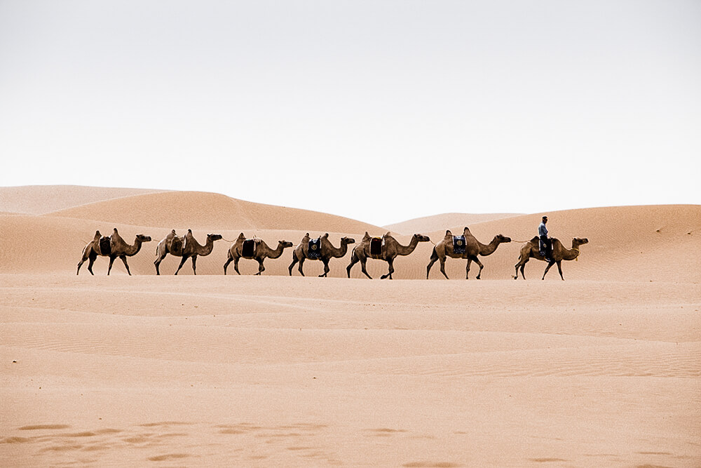 A caravan of camels photographed walking around the desert dunes in Inner Mongolia